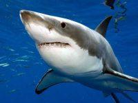 Из-за потепления белые акулы заплывают в северные моря