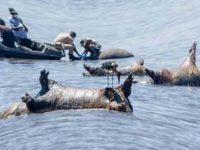 В Намибии нашли 109 мертвых бегемотов