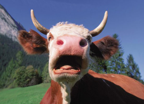 Болгары хотят усыпить корову — нарушителя границы ЕС